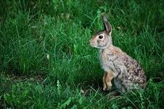 rabbit standing - Google Search