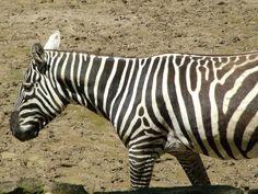 The maneless zebra (Equus quagga borensis) is a subspecies of the plains zebra…