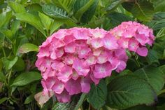 Hydrangea macrophylla 'King George' (flowers can also be blue)