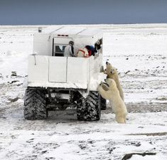 Polar bear watching - very close to the action!
