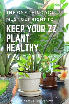 House Plant Maintenance Tips Zz Plants Have One Achilles Heel. Watering Learn How To Prevent The Most Common Mistake People Make When Caring For This Fantastic Indoor Plant. Zz Plant Care, Snake Plant Care, House Plant Care, Cactus House Plants, House Plants Decor, Cactus Decor, Cactus Art, Cactus Flower, Cacti
