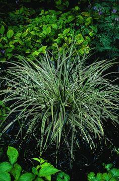 Carex morrowii ssp foliosissima 39 irish green 39 teppich - Gartengestaltung fur anfanger ...