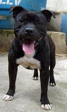 My Staffordshire Bull terrier is black with white markings.  She is my best friend and a great loyal companion!!