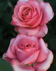 Beautiful Rose Flowers, Flowers Nature, Exotic Flowers, Amazing Flowers, Beautiful Flowers, Lavender Roses, Purple Roses, Pink Flowers, Rose Reference