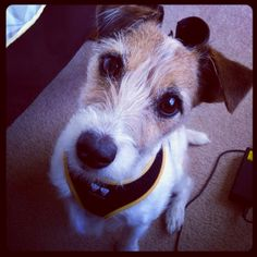 My adorable Jack Russell