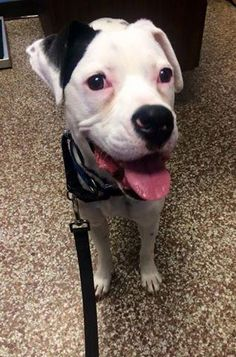 Meet Bella, a Petfinder adoptable Boxer Dog | Brooklyn Center, MN | You can fill out an adoption application online on our official website.Bella is a goofy wonderful...