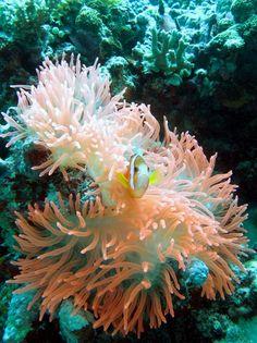 Nemo  en direct du Pacifique !