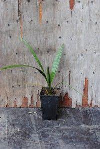 Välimerentaateli - Phoenix dactylifera  Trooppiset hyötykasvit huonekasveina - kasvit ovat kaupasta ostettujen hedelmien siemenestä kasvatettuja.   #taateli #viherkasvit Phoenix, Mango, Plants, Manga, Plant, Planets