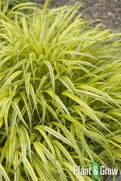 Hakonechloa macra 'Aureola' online bestellen: http://www.plantengrow.nl/siergrassen/hakonechloa-macra-aureola-hakonegras-261.htm (Plant & Grow) - Hakonegras