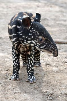 'Denver Zoo is celebrating the birth of an endangered Malayan Tapir calf! The male calf, named Baku (Bah-koo), was born on April 29. Fortunately, his delivery was much easier than that of his older brother, who was saved by mouth-to-snout rescue breathing by keepers back in 2012.