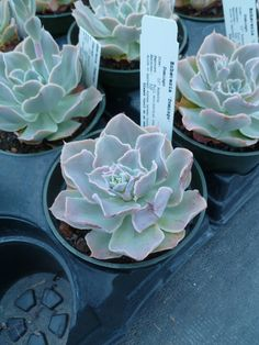Echeveria 'Domingo'