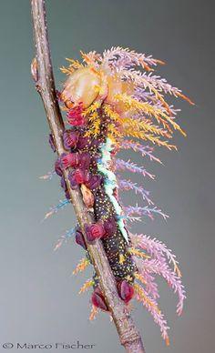 Caterpillar of Saturniidae Moth in Switzerland - Rastafarian Caterpillar!!!