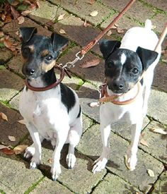 The Japanese Terrier is a short coated, small sized, clean cut dog, with a smart appearance and a compact outline. Terrier Breeds, Rat Terriers, All Dogs, I Love Dogs, Small Dog Breeds, Jack Russell Terrier, Boston Terrier, Pitbulls, Beast