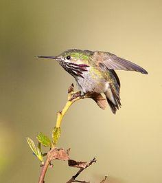 Calliope Hummingbird   Flickr - Photo Sharing!