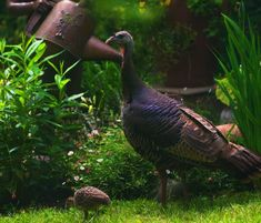 """Is your turkey in the oven yet? Check out Irvin and Pauline Faria's turkeys in the garden! He says, """"Pauline's garden is a Certified National Wildlife Habitat. Its woodland setting provides an. Baby Turkey, Tom Turkey, Wild Turkey, Fine Gardening, Hens And Chicks, Most Beautiful Flowers, Climbing Roses, Garden Photos, Edible Garden"""