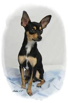 Chihuahua - Storm - Small - Adult - Male - Dog