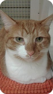 Stafford, VA - Domestic Shorthair. Meet Creamsicle, a cat for adoption. http://www.adoptapet.com/pet/16444719-stafford-virginia-cat