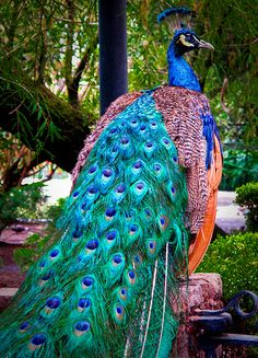Peacock by kimbar/very busy, in and out, via Flickr