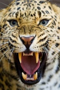 vicious leopard! out of her way....