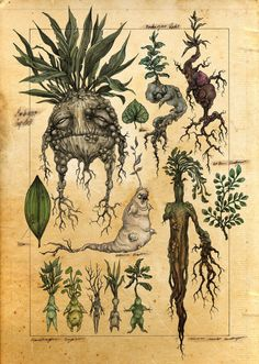 A mock botanical illustration of mandrakes. In the world of Harry Potter, when the mandrake root is dug up it screams and kills all who hear it. Art And Illustration, Botanical Illustration, Halloween Illustration, Botanical Drawings, Botanical Prints, Illustrations Harry Potter, Illustrator, Illustration Botanique, Theme Harry Potter