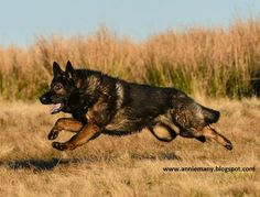 German Shepherd are made to protect and also their strong running ability and stamina can never be ignored. A healthy German Shepherd running speed lies  between the range of 20-30 mph.