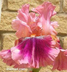 Yosemite Sam bearded iris flowers roots tubers rhizomes corms