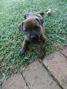 Dogs For Sale, Pitbulls, Animals, Animales, Animaux, Pitt Bulls, Pit Bulls, Animal, Animais