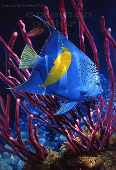 Yellowbar Angelfish - Maculosus