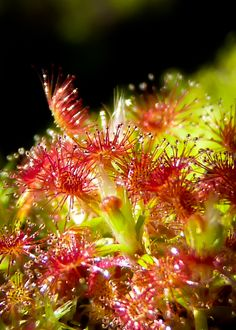 Pygmy sundew by jezebel144.deviantart.com on @deviantART