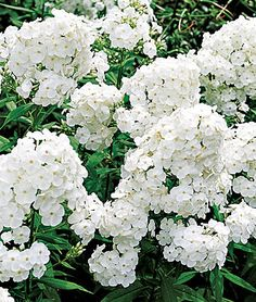 Lifecycle: Perennial   Zone: 4-8   Sun: Full Sun, Part Sun   Height: 36  inches  Spread: 24-30  inches  Uses: Beds, Borders, Cut Flowers   Bloom Season: Fall, Summer