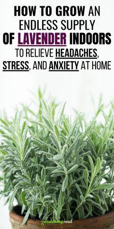 Garden Plants, Indoor Plants, Herb Garden, Growing Herbs, Growing Lavender Indoors, Growing Plants Indoors, Household Plants, Inside Plants, Herbs Indoors