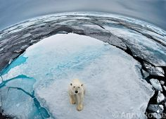 Wildlife photographer Andy Rouse is renown for capturing riveting reflections of nature - the wild illuminated through images denoting the character and challenges of earths endangered species. This image symbolises the vanishing ice and its impact on polar bears.  A spellbinding photo that serves to remind us of the sea bears plight for survival. Our efforts however small can help change this, learn more at: Polarbearsinternational.org