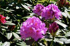 https://flic.kr/p/9T1yuE   Rododendronblüten  #Flickr #Foto #Photo #Fotografie #Photography #Blüten #Nature #Natur #Pflanzen #德國 #照片 #出差旅行