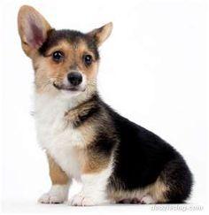 Pembroke-Corgi-Puppy.jpg
