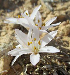 Colchicum antilibanoticum ( סתוונית הרמון) - a desert wildflower, Israel.