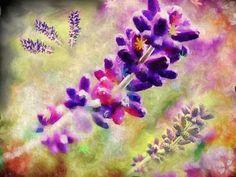 Lavender's Blue: Lavender Dreams by Martin Mc Donnell