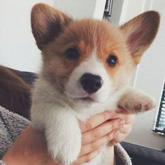 Cute Baby Dogs, I Love Dogs, Cute Puppies, Dogs And Puppies, Pet Dogs, Dog Cat, Cute Little Animals, Dog Boarding, Softies