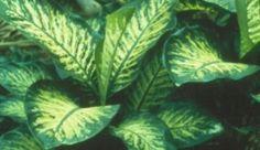 Diefenbachie - charakteristika a rady - Chovatelka. Plant Leaves, Flowers, Plants, Floral, Plant, Royal Icing Flowers, Florals, Flower, Planting