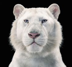 Tiger Breeding Series: Snow White Tiger, 2012 by Tim Flach. #aesthetic #contemporaryart #gallery