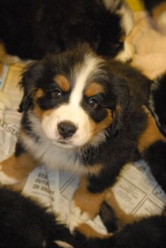 bernese mountain dogs are the cutest