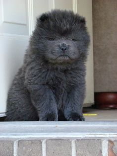 blue chow puppy ♥ he looks like a little bear