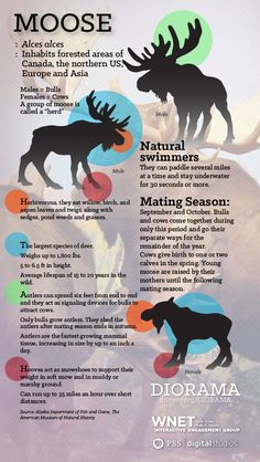 All you ever wanted to know about the moose, the world's largest deer.