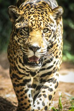 Happy Saturday from your friends at the Chattanooga Zoo! Jaguar, Tn State, Happy Saturday, Big Cats, Tennessee, Om, Friends, Animals, Leopards