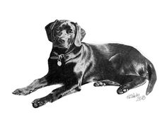 A pencil drawing of a black labrador