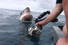 Equipe registra foto impressionante de tubarão branco na Austrália Foto dá a impressão de que tubarão de 4,5 m estaria em posição de ataque. Animal, no entanto, não estava agressivo, segundo australiano Dave Riggs.