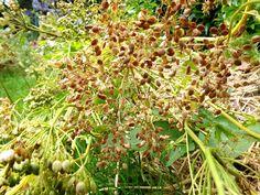 Le panais est un légume que j'apprécie cultiver car je trouve sa culture très gratifiante. Les panais de jardin n'ont rien à voir avec ceux que l'on peut acheter tant au niveau du goût que pour ce …