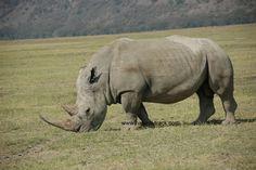 A rhino browsing-spotted at Lake Nakuru National park. http://www.natural-track.com/