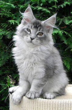 Couleurs et marquages chez le maine coon :: Lovely angel coon at - Catsincare.com