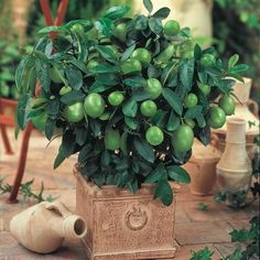 Append a tropical twist to your outdoor space by selecting this Gurneys Pot Dwarf Key Lime Tree Live Tropical Plant White Flowers Mature to Green Fruit. Green Fruit, Citrus Trees, Fruit Trees, Michigan, Key Lime Tree, Spring Hill Nursery, Potted Trees, Spring Blooms, Facades