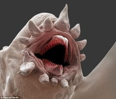 Known as Polychaetes (bristle worms), they survive intense sea pressures where sunlight never penetrates. Picture: CRASSOUS/SPL/BARCROFT Creatures of the deep: terrifying macro pictures of polychaetes. Deep Sea Creatures, Weird Creatures, Macro Pictures, Electron Microscope, Sea Monsters, Ocean Life, Creature Design, Marine Life, Under The Sea